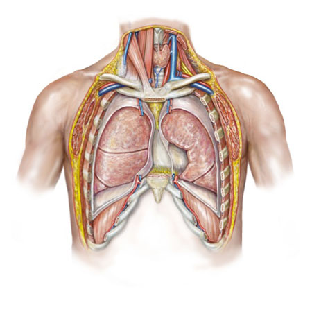 Anterior Chest Anatomy